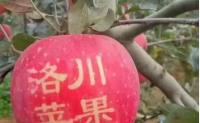 洛川苹果成农业产业扶贫典范 电商使销售额高出50%