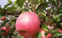 魏延安:在苹果节里说陕西苹果电商转型
