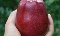 【天水花牛苹果】世界著名苹果品牌 欢迎各界渠道,代理合作对接!