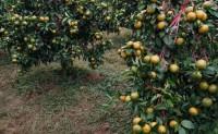 【绿云生态农业 天湖圣品】种植沃柑6000亩 欢迎有实力的平台、团队合作共赢!