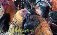 【朵拉】有自己的粮食、土鸡基地、藏香猪以及土猪 欢迎各朋友对接洽谈!
