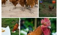 【偷牛山|橙就美:有机果园跑山鸡和维新脐橙】欢迎优质渠道、团队咨询洽谈合作!
