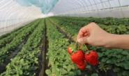 【喵果红颜草莓】拥有草莓1300余亩 欢迎全国水果店、微商、社区团购、电商对接!