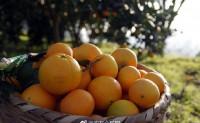 【橙念 麻阳冰糖橙】选自中国冰糖橙之乡 欢迎优质渠道、团队对接洽谈合作!