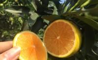 【橙出不穷】廉江红橙 诚邀各大渠道商合作对接,支持一件代发,品牌供应