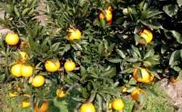 【秭归脐橙 九月红】拥有200亩基地,欢迎各大团队前来品尝、落地配对接合作
