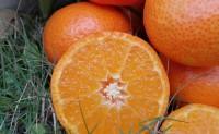 【砂糖橘真熟了】欢迎各团队、渠道、平台、批发市场的大咖们前来对接合作!