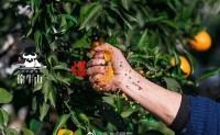 【来自乐山的偷牛山有机橘橙】自家660亩流行杂柑基地,欢迎优质渠道对接合作共赢!