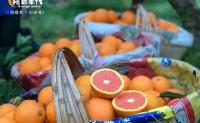 【中华红橙 秭归御橙庄园】4月下市,期待优质货源的各位分销代理,渠道平台合作共赢!