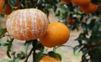 【U橙谷 茂谷柑来】专注自己农场果园直供,支持一件代发、落地配 欢迎对接合作!