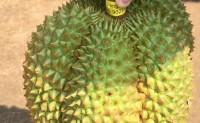 【泰国榴莲甲仑A级及泰国山竹】可满足一件代发、团购、整车发货等发货方式,欢迎对接