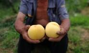 【种桃人:蒙阴黄桃】做最好的蒙阴蜜桃,蒙阴特色产品 大量发货