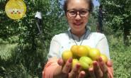 【小甜心供应链:轮台县白杏】新疆最早接触小白杏的电商团队,随时欢迎来基地做客