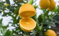 【赣南信丰脐橙】又是一年橙香季,欢迎企业、平台、团队、个人前来咨询考察