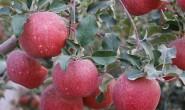 【阿克苏红旗坡冰糖心苹果】支持OEM贴牌,一件代发/落地配/整车,欢迎平台、团队、微商合作