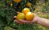 【又是一年橙飘香,麻阳冰糖橙已熟!】全国3仓发货,欢迎各位商家、平台合作
