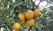 【又是一年橙飘香,2018赣南脐橙成熟了!】欢迎各位商家、平台前来合作!