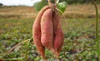 【秋畋归薯】沙地种植,造就了归薯含水份更低,含糖量更高, 欢迎各大团队对接!