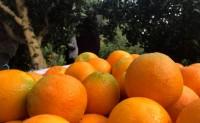 【秭归脐橙:九月红秋橙】支持线上一件代发,社区团购落地配,整车配送业务