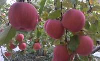 【鲜友果源】特色水果:一件代发、陆地配、落地配及整车业务,欢迎对接!