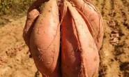 【沂蒙山烟薯】今年烟薯已经全部糖化好,质量品质上乘 特寻志同道合的合作伙伴