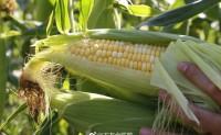【云南水果玉米 网红产品】含糖量比普通玉米高10倍,新鲜直发,欢迎对接合作!