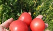 【全景农业 千禧小番茄】有120亩固定番茄种植基地,80亩枇杷种植园,欢迎对接