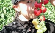 【攀枝花:千禧小番茄】采用羊粪,无污染地下饮用水灌溉,欢迎对接合作