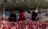 【推荐平姐 蒙恩农场】有机种植方式种植的苹果和酥梨,味道美极了,欢迎对接