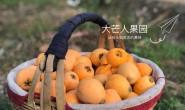 【大芒人果园】主营攀枝花水果,现在热卖的是枇杷,可一件代发可落地配