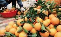 【赣南伦晚带叶鲜橙】日发货5000件,欢迎落地配、微商一件代发、社区团购、各平台全渠道供应