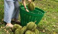 【泰国榴莲】果期只有40多天,感软糯榴莲味重,甜度最高,肉质金黄色!