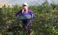 【二蛋家的蓝莓】每天现摘现发,日发货10000+单,欢迎优质渠道,团队对接合作!