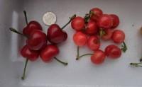 【山东潍坊大樱桃已经上市了】安丘市绿农康果蔬农民专业合作社,欢迎对接!