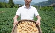 【恩施富硒小土豆】单日可发10000单,支持一件代发、社群团购、落地配、线下批发
