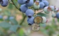 【轩宇果业:青岛蓝莓】日发货量最大5000单,支持一件代发、落地配以及整车发货