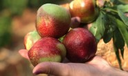 【攀枝花:五月红露天油桃】因为露天种植,桃味更浓,口感更好价格还不贵!