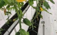 【喝豆浆长大的拇指黄瓜】大量上市,提供一件代发、落地配等业务,欢迎对接