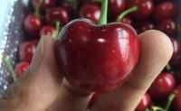 【山东烟台:露天大樱桃】日发货量在2000单以上,现对接生鲜平台、微商团队及线下实体