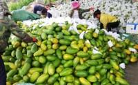【果真芒版纳红心木瓜】现有自有种植的红心木瓜2万颗,日最大出货量3000-5000单