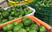 【引流款9.9 海南青柠檬】全国落地配与一件代发同步联动,供货稳定,欢迎对接!