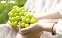 【亲亲匠品】可供应优质阳光玫瑰葡萄2000吨,一件代发订单每日处理能力为6000件