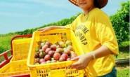【村意富硒紫香百香果】长期稳定供货期:每年6月至来年3月!欢迎各位朋友对接!