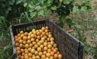 【长陵杏运果 新疆小白杏】可自己去采摘,也可顺丰快递,一箱120个118元