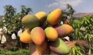 【攀枝花市绿洲种养殖】2019季攀枝花芒果上市,欢迎大家咨询与拿样试吃