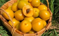 【珍珠油杏】网红产品,复购率极高,支持一件代发等多种合作方式,欢迎对接