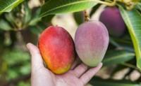 【攀枝花甜心芒果】果味浓郁,比越南甜心芒更甜更好吃。欢迎各大团队对接
