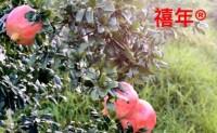 【宾川金丰汇农业】目前以优质软籽石榴、葡萄、柑桔为主打产品,欢迎对接