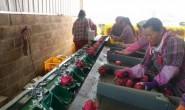 【润成普汇】主打芒果、火龙果、百香果、榴莲、山竹等鲜果,一件代发,欢迎对接