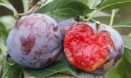 【蜜布朗-玫瑰李】富含花青素,是现代爱美女士的新宠水果,欢迎对接合作!